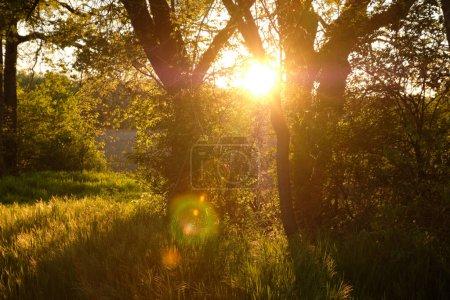 Foto de Hermosa naturaleza al atardecer en árboles de bosque de primavera con rayos de sol - Imagen libre de derechos