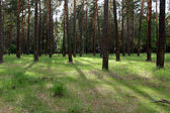 """Постер, картина, фотообои """"Красивый сосновый лес"""""""