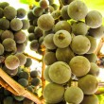 Cluster of appetizing juicy ripe sweet dark blue g...