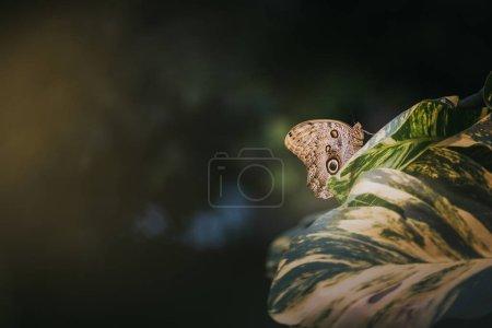 Forest Giant Owl butterfly (Caligo eurilochus)...