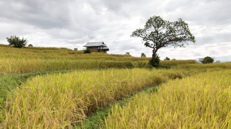 yellow terraced rice paddy field with traditional wood hut