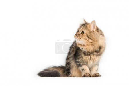 Young persian cat