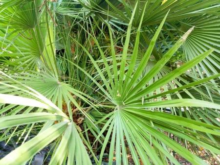 serenoa palm closeup