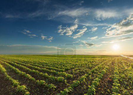 Photo for Rows of young green soybeans against the setting sun with beautiful clouds. Soy bean fields in early summer season at sunset. - Royalty Free Image