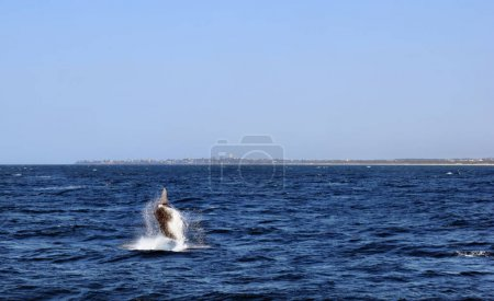 Humpback Whale (Megaptera novaeangliae) in Sunshine Coast, Queensland, Australia