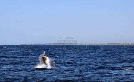 Humpback Whale (Megaptera novaeangliae) in Sunshine Coast, Queensland, Australia