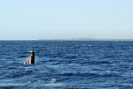 Humpback Whale (Megaptera novaeangliae) breaching at Sunshine Coast, Queensland, Australia