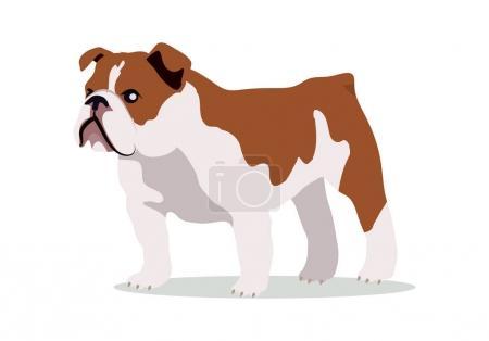 English bulldog breed flat design vector. Purebred...