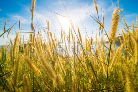 Yellow grass with flower uprise to blue sky on the mountain beach