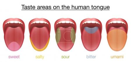 Illustration for Taste areas of the human tongue - sweet, salty, sour, bitter and umami - with colored regions of the appropriate taste buds. Isolated vector illustration on white background. - Royalty Free Image