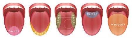 Illustration for Tongue with five taste buds areas - sweet, salty, sour, bitter and umami. Isolated vector illustration on white background. - Royalty Free Image