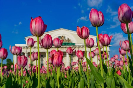 Photo for Saint Petersburg. Russia. Tulips on Vasilievsky Island. Flowers. Arrow of Vasilyevsky Island. Center of St. Petersburg is decorated with flowers. Spring in St. Petersburg. Single tour to Russia. - Royalty Free Image