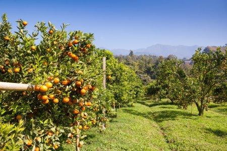 Orange trees plantations in garden