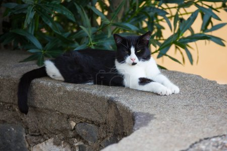 Serious funny black and white cat with a mustache ...