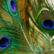 Close-up of peacock feathers pattern...