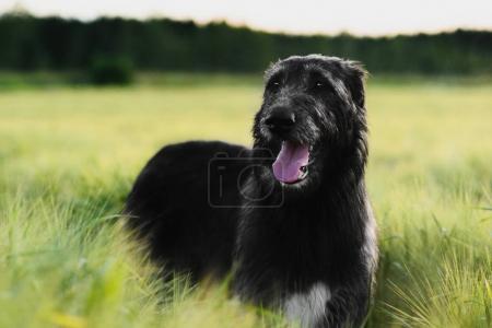 Irish Wolfhound standing in wheat field at sunset
