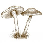 engraving illustration of two mushrooms