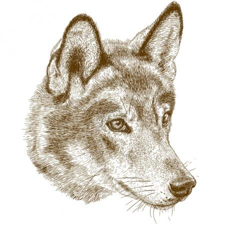 Illustration for Vector antique engraving illustration of wolf head isolated on white background - Royalty Free Image