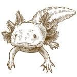 Vector antique engraving illustration of axolotl s...