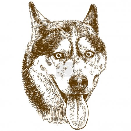 Illustration for Vector antique engraving drawing illustration of husky dog head isolated on white background - Royalty Free Image