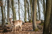 Fallow Deer (Dama dama), in autumn forest, Czech Republic. Beautiful autumn colorful woods. Deer in the nature habitat. Animal in the forest meadow. Wildlife scene in Europe.