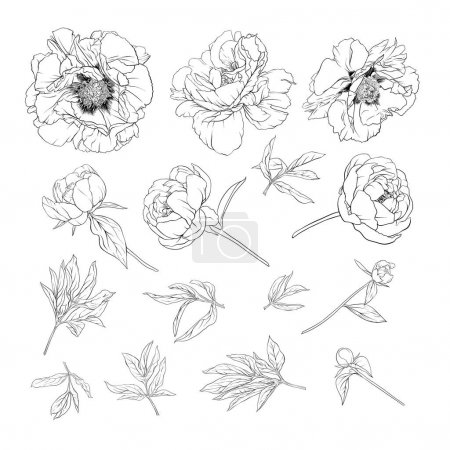 Illustration for Peony flower. Element for design. Outline hand drawing vector illustration. In botanical style Isolated on white background.. - Royalty Free Image
