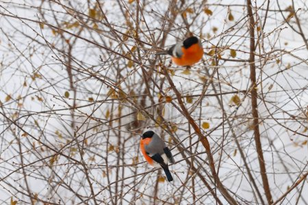 Two bullfinches sit on tree branch with dry foliage in winter