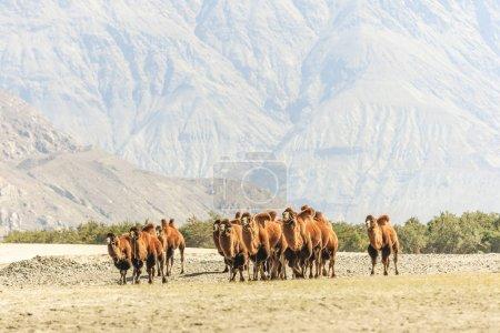 Camel at Nubra valley