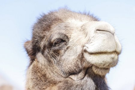 Face of camel