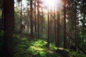 Forest in morning sunlight