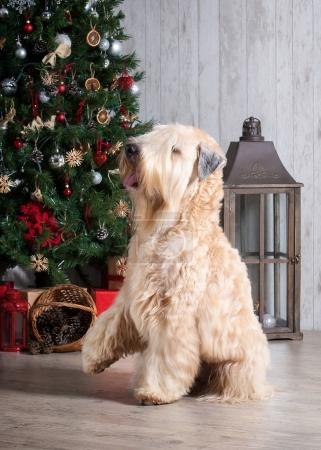 Dog. Irish soft coated wheaten terrier on Christmas background