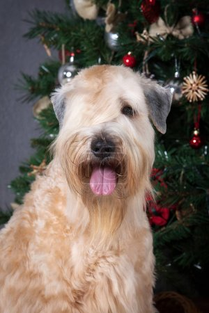 Dog. Irish soft coated wheaten terrier on Christmas background