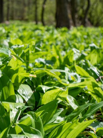 Photo for Popular and healthy edible flavoring and spring herb with garlic smell growing in spring in old forests. Carpet of wild herb garlic broad or leaved garlic or bear leek garlick. - Royalty Free Image