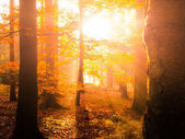 Autumn in beech forest. Beautiful warm scenery with first morning sun rays in misty autumnal forest