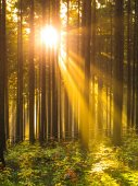 Sunrise in the forest. Sun rays shining through trees and morning mist