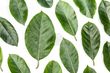 Photo for Leaves of jackfruit tree isolated on white background. Tropical plant green leaf spring time banner, environment concept. Close-up studio photography - Royalty Free Image