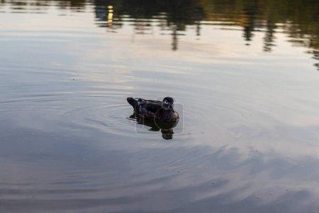 A single duck swimming in calm waters on a fall da...