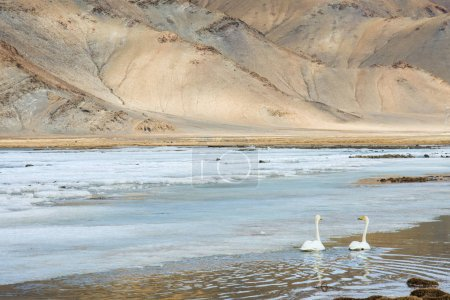 Swans swimming on cold iced lake