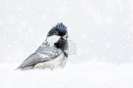 Photo pour Nature hivernale et oiseaux. Fond nature blanc. Oiseau : Mésange noire. Périparus ater . - image libre de droit