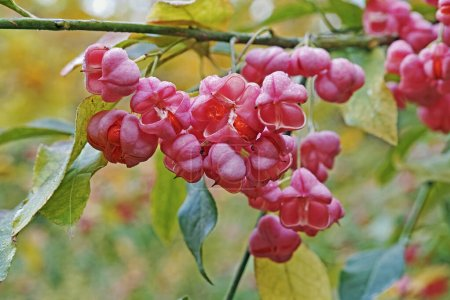 fruits and seeds of european spindle