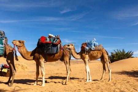 Camels stand with a load, the Sahara desert