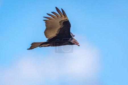 Turkey Vulture in flight. Turkey Vulture Cathartes...