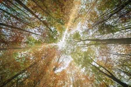 Photo pour Vue du fond de la forêt de grands arbres à l'automne avec rayons du soleil - image libre de droit