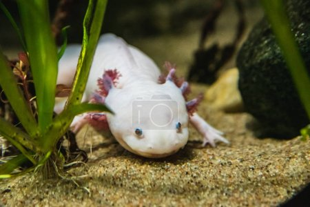 A closeup of a Axolotl walking on sand.  Vancouver...