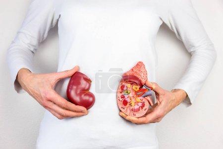 Photo pour Femmes mains tenant modèle d'organe rein humain devant le corps - image libre de droit