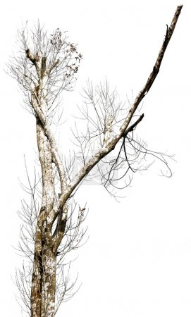 Dead tree isolate on white background. branches of...