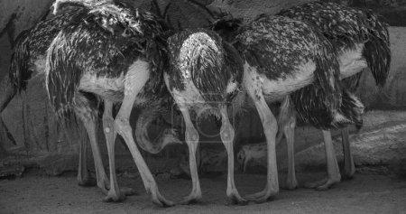 Photo pour Autruches communes multiples vues de derrière, en noir et blanc - image libre de droit