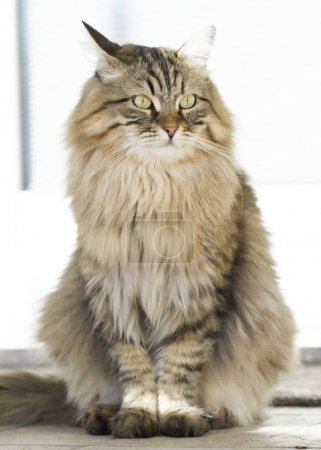 adorable brown cat of siberian breed in the garden