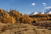 Mountains larch autumn snow forest