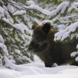 Portrait of wild boar looking at camera in pine fo...